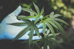 Automaty – feminizowane nasiona marihuany – co to takiego?